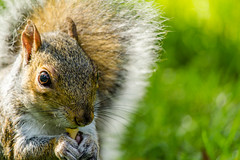 Grey Squirrel (CJPhotography UK) Tags: nature natur wildlife squirrel greysquirrel animal closeup zoom natural urbanwildlife urbannature urban fur grey fluffy cute nut eating grass outdoors sun sunlight light lighting bright tail park rodent canon telefoto