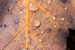 IMG_8970 (manleyaudio) Tags: canon5dmark2 canon 5dmarkii 5dmkii 100mm macro 100mml l lens fall leaves color water drops rain