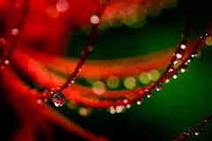 Lycoris radiata on a rainy day (kurumaebi) Tags: yamaguchi  nikon d750  nature landscape amaryllidaceae    raindrop  macro