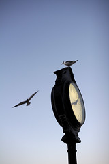 Securing The Perch (Rich Renomeron) Tags: canoneos60d sigma30mmf14exdchsm bethanybeach bethanybeachclock clock delaware seagull
