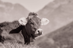 Contented Swiss alpine cow (foto99) Tags: furka alps brown cow furkapass gentle serene switzerland tagged