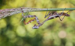 Bad Robot (Kathy Macpherson Baca) Tags: animal animals insect insects prayingmantis preyingmantis predator wildlife egypt middleeast funny world planet earh nature macro