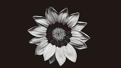 SIMPLICITY (augustus_adolf) Tags: nature macro plant plants black white blackandwhite monochrome summer photography flower petals minimal minimalist