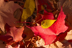 DUI_6863r (crobart) Tags: maple leaves fall colours colors