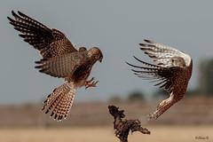 The fight on the stump (Dave 5533) Tags: bird commonkestrel nature wild birdofprey naturephotography wildlife canon7dmk2 sigma150600mmf563dgoshsm|s animal
