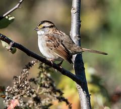 White-throated Sparrow (Zonotrichia albicollis) (mesquakie8) Tags: bird sparrow feedinginthebushes whitethroatedsparrow zonotrichiaalbicollis wtsp rockcutstatepark winnebagocounty illinois 1524