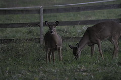 _MG_2026 (thinktank8326) Tags: deer whitetaileddeer fawn doe babyanimal babydeer