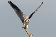 White-tailed Kite is bringing vole in ... (X6A_4579-1) (Eric SF) Tags: whitetailedkite kite raptor vole coyotehillsregionalpark fremont california ebparksok ebparks