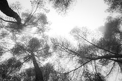 IMG_8331 (Juan Manuel Sanchez) Tags: otoo adrianospicture juanmanuelsanchez hojas arce rojo niebla fog campo montaa madrid espaa canon d60 naturaleza maana cielo silueta contraluz cesped hierba bosque norte