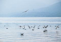 The world of seagulls (Siminis) Tags: siminis mytilene aegean aegeansea greece mist misty mistymorning morning morningmist seagulls seagull seashore seascape sealife sea world blue