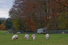 1355-13L (Lozarithm) Tags: mileelm bowood wilts sheep autumn pentax zoom k1 28105 hdpdfa28105mmf3556eddcwr