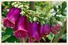 紫花洋地黃 Purple Common Foxglove Flowers (C. Alice) Tags: 2015 purple green bokeh spring hongkong ilce6000 sony a6000 carlziess zeiss tessar sonysel1670zcarlzeissvariotessart 1670mmf4 plant flower coth favorites50 autofocus aatvl01 1500v60f aatvl02
