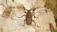 Longhorn Beetle, Polyrhaphis angustata (Ecuador Megadiverso) Tags: andreaskay ecuador beetle book cerambycidae coleoptera longhornbeetle polyrhaphidini polyrhaphissp puyo ursula polyrhaphisangustata idbyrobwesterduijn