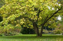 Herbstlicher Trompetenbaum (sirona27) Tags: trompetenbaum baum pflanze catalpabignonioides park bltter samen stamm ste herbst verfrbung