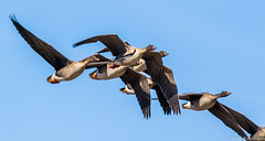 Metshanhi (Anser fabalis), Bean goose (pohjoma) Tags: hanhi lintu metshanhi anserfabalis beangoose bird goose aquaticbird canoneos7dmarkii canonef100400mmf4556lisiiusm canonextenderef14xiii