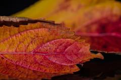 Leaves (RickG59) Tags: macro sigma105mm leaves still life autumn herbstblatt d800 nikon