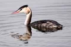 The Grebe. (pstone646) Tags: bird nature wildlife grebe lake animal fauna water stodmarsh kent reflection ripples closeup