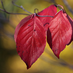 Glossy Red (AnyMotion) Tags: leaf leaves blatt blätter autumncolours bokeh herbstfärbung tree nature baum natur cemetery 2016 frankfurt anymotion maincemetery hauptfriedhof hessen germany 7d2 canoneos7dmarkii colours colors farben red rot autumn fall herbst automne otoño square 1600x1600 ngc npc
