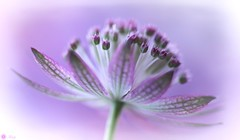 Passing by (Trayc99) Tags: flower petals pink softbackground softness delicate flowerphotography floralart floral beautyinmacro beautyinnature beautiful