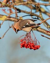 Waxwing (boogie1670) Tags: canon7dmarkii sigma sports 150600mm wildlife britishbirds yorkshire woodland wild waxwings ngc outdoors
