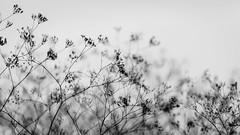 seeds (Daniel Stroebel) Tags: seeds black white nature bw monochrome plant grasses structure nikon d7000 availablelight naturallight germany bayern samen schwarz weis natur sw einfarbig pflanze grser struktur vorhandeneslicht natrlicheslicht deutschland