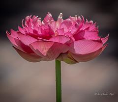 Lotus flower (idunbarreid - on and off) Tags: lotusflower doublefantasy