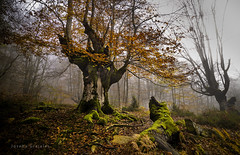 Otoo II (Joseba Grajales) Tags: otoo autumn gorbeiaparquenatural gorbeia alavaaraba arbol tree paisaje landscape color niebla fog hojas musgo nikon nikond750