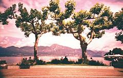 Duality. (UrbaceousSentiment) Tags: torridelbenaco gardasee lagodelgarda pink bäume trees baum tree italia italy italien lomo lca crossprocessed xpro pushed diafilm slide film analog analogue vignetting vignettierung