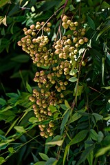Getting Ready for the Holidays (The Spirit of the World) Tags: plant berries lantana foliage bush landscape sandiego california usa america