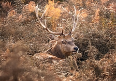 The Golden Hart (Langstone Joe) Tags: reddeer stag hart thegoldenhart autumn bracken antlers camouflage cervuselaphus