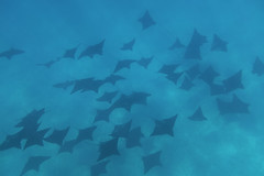 Bora Bora (Bill Hornstein) Tags: borabora underwater snorkle mantaray
