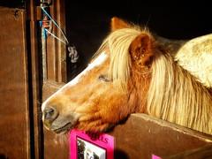 Meet Angus (garryknight) Tags: angus cybershot dschx60v foalfarm friendsofanimalleague lightroom london october ononephoto10 shetland sony animal dogshow horse pony rescue show creativecommons