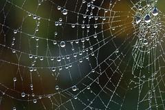 Sur la toile (Mariie76) Tags: animaux nature arachnide toile araignée eau mouillée gouttes circulaire figé macrophotographie macro
