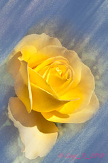 Rose (Guy_D_2010) Tags: d90 rose  lule blumen     flower  cvijet blomst flor lill kukka blodyn   virg bunga blth blm fiore zieds gl  voninkazo fjura  bloem  gul  kwiat floare kvetina cvet blomma kvtina  iek  hoa   flowersarefabulous nikon nikonfrance nikoniste