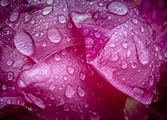 A Rose on a Rainy Day (KWPashuk) Tags: samsung galaxy note5 lightroom nikcollection kwpashuk kevinpashuk rose detail flower nature droplets droplet water macro garden outdoors