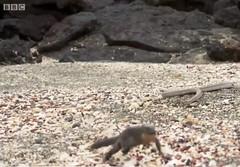 Nature snakes chasing iguana 11 8 2016 (Monte Mendoza) Tags: snake iguana nature predator prey chase bbc survival survivalofthefittest runforyourlife stress