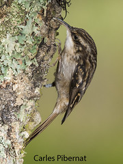 Raspinell, Agateador común, Short-toed Treecreeper (Certhia brachydactyla) (Carles Pibernat) Tags:
