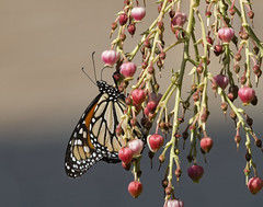 On the Way to Pismo (grandmasandy+chuck) Tags: monarchbutterfly butterfly flowers strawberrytree nectar migration
