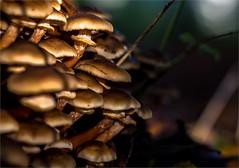 Haagse Paddo's :) (zilverbat.) Tags: denhaag nature zilverbat hofstad thehague dutch thenetherlands timelife bos haags bokeh dof dutchholland paddestoelen mushrooms haagsebos park outdoor low natuur herfst autumn zwam zwammen