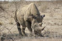 rhino (Dorota Zapisek) Tags: rhino etosha namibia africa wildlife big5 nature thebigfiveofafrica