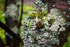 Moss (kzoop) Tags: iceland travel vacation europe lake myvatn nature hofdi tree moss macro