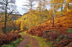 Amber Trail (eric robb niven) Tags: ericrobbniven scotland dundee trees autumn perthshire dunkeld forest woods