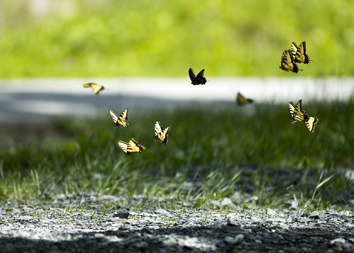 Tiger Swallowtails in flight