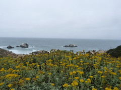 SF's Land's End (tend2it) Tags: california san francisco sf lands end beach flowers yellow green seal rock pacific ocean water horizon