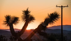 Joshua Tree at Sunrise at The Artists' Retreat - Yucca Valley, CA (ChrisGoldNY) Tags: chrisgoldny chrisgoldphoto chrisgoldberg bookcover bookcovers albumcover albumcovers licensing forsale california america usa sony sonyimages sonya7rii sonyalpha yuccavalley joshuatree mojave desert sunrise sun trees nature morning californian socal westcoast plants