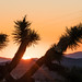 Joshua Tree at Sunrise at The Artists' Retreat - Yucca Valley, CA
