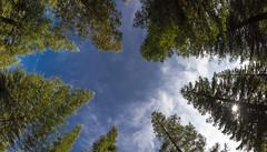 Estrellas en el cielo (jojesari) Tags: 2916 secuoyas castrove poyo pontevedra galicia panoramica dosfotos jojesari suso
