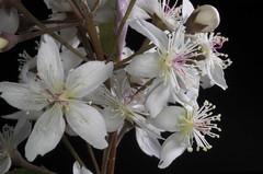 Lacebark/Houhere (Hoheria populnea) (Nga Manu Images NZ) Tags: fscientificnames hoheriapopulnea lacebark plantsandfungi trees