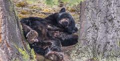 taking a nap black bear (chasingthewildoutdoors) Tags: yellowstonepark fall wyoming color bear black mammal animal wild wildlife wildlifephotography nature