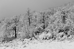 Skeletrees (luca_pictures) Tags: marche italy winter snow ice cold trees woods winterstorm outdoor beauty